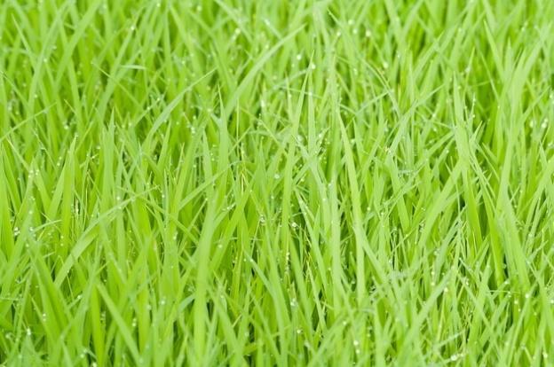 ricegrassgreen